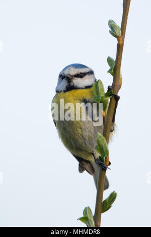 Blue Tit (Cyanistes caeruleus) perched on twig with fresh leaves emerging - Stock Image