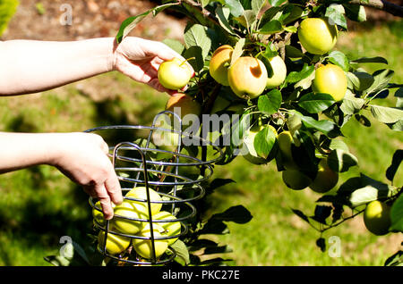 Dundee, Tayside, Scotland, UK. 12th September, 2018. UK weather: The warm weather continues with temperatures reaching 16º Celsius. A woman is harvesting James Grieves apples inside her garden in Dundee Scotland. Credits: Dundee Photographics / Alamy Live News - Stock Image