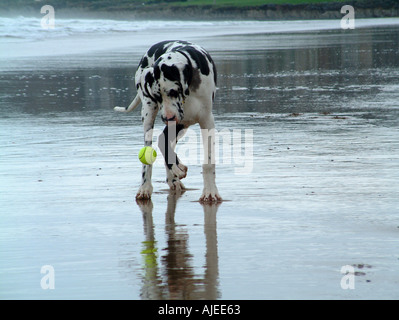 Great dane playing with ball on beach - Stock Image