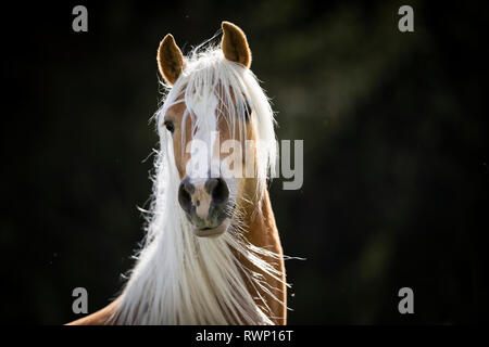 Haflinger Horse. Portrait of adult mare against a black background. South Tyrol, Italy - Stock Image