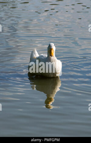 Pekin Duck and reflection in a calm still lake - Stock Image