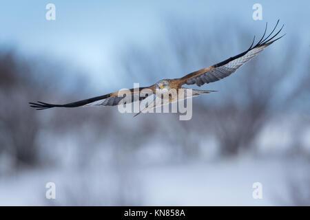 Red Kite (Milvus milvus) flying over a snowy landscape. Rhayader, Wales, UK - December - Stock Image