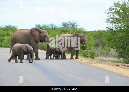 Elephants crossing the road near Satara Rest Camp Kruger Park , South Africa - Stock Image