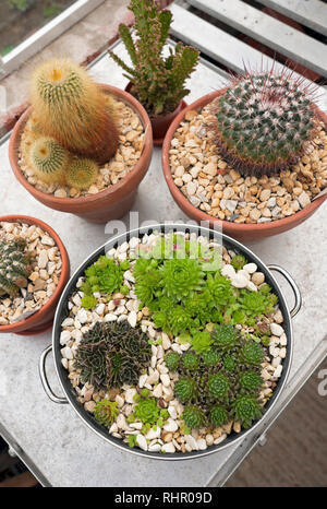 Cacti and succulents in the greenhouse England UK United Kingdom GB Great Britain - Stock Image