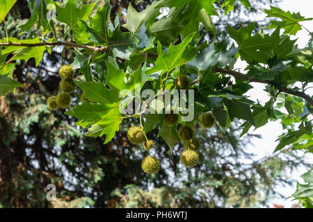 The leaves and fruits from a London Planetree Platanus × acerifolia growing in Parade Gardens in the city of Bath - Stock Image