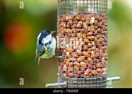 Colour photograph of Coal tit bird (Periparus ater) holding on to side of feeder filled with nuts. - Stock Image