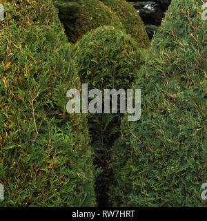 Small, Egg-Shaped Arborvitae Shrubs, Close-Up - Stock Image