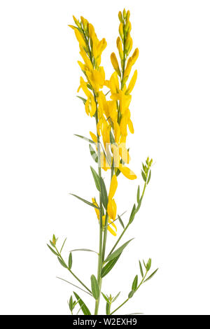dyer's broom isolated on white background - Stock Image