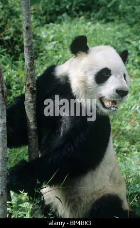 Giant panda stands up against a sapling, Wolong, China - Stock Image