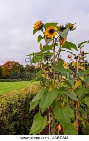 Romantic summertime photo with yellow sunflower. - Stock Image