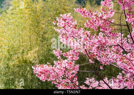 Cherry Blossom against a background of bamboo at Katahara Shrine, Gamagori, Japan - Stock Image