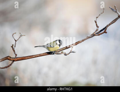 Great Tit perched on a mossy, frosty twig against a totally defocussed snowy, wintry background. - Stock Image