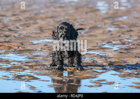 Troon, Ayrshire, UK. 17th January, 2019. Heavy frost and cold winds didn't deter Stanley, a 10 week old cocker spaniel from Glasgow,  enjoying his first ever day on a beach and playing in the sea and sand. Credit: Findlay/Alamy Live News - Stock Image
