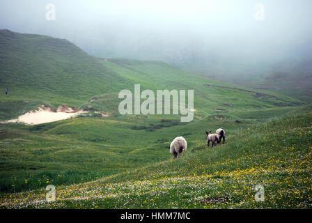 sheep on hillside - Stock Image