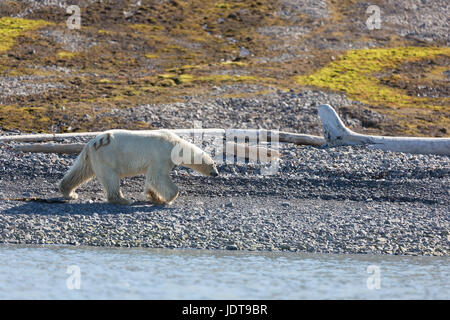 An adult polar bear walks along the a shingle beach in Mushamna, Spitzbergen - Stock Image