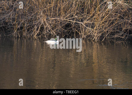 Goosander (Mergus merganser) winter visitor on the river Wye at Hereford UK. February 2019 - Stock Image