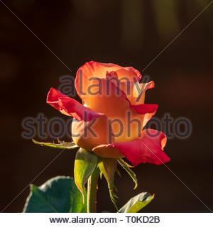 Pink and orange rose - Stock Image