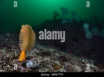 Ptilosarcus gurneyi, Orange sea pen - Stock Image