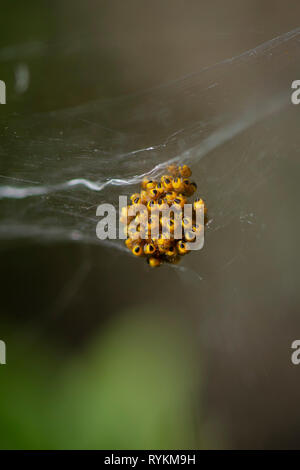 Cluster of Garden Spider (Araneus diadematus) web with spider babies. Andalusia, Spain. - Stock Image
