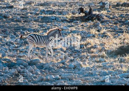 Burchell's Zebra, Equus burchellii, solitary Foal at the Okaukuejo waterhole, Etosha National Park, Namibia, - Stock Image