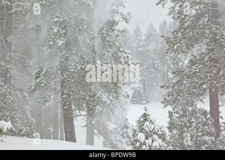 Ponderosa pine forest during February snowstorm in Fay Canyon, Flagstaff, Arizona, TomBean_Pix_1926 - Stock Image
