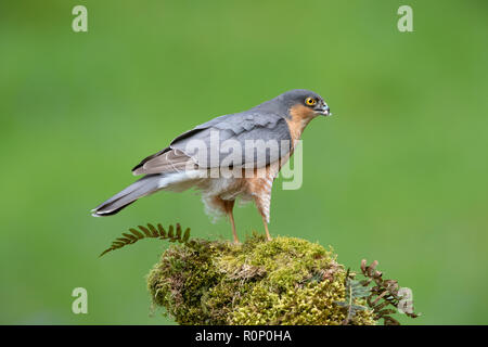 Adult male Sparrowhawk (Accipitor nisus) on a mossy tree stump, Scotland - Stock Image