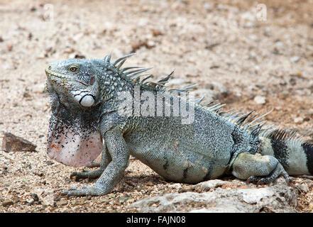 A Green Iguana (Iguana iguana), in Curacao - Stock Image