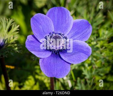 A single violet blue flower of anemone (windflower) De Caen variety. - Stock Image