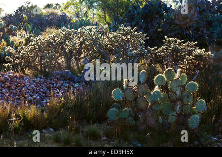 CACTUS grown in the desert around historic MINERAL DE POZOS which was once a large mining town - MEXICO - Stock Image