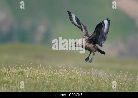 Great skua or bonxie (Stercorarius skua) adult landing. Shetland Isles. June. - Stock Image