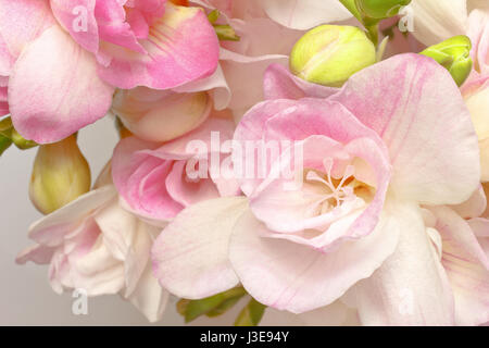 Close-up of white and pink freesia flowers and green buds, nostalgic and romantic setting in soft light, background - Stock Image