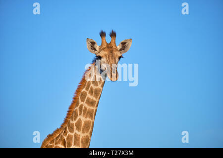 head and neck shot of South African Giraffe against blue sky backgorund - Stock Image