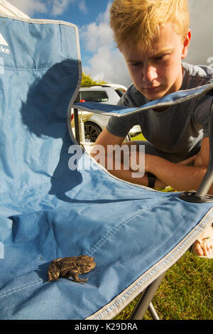 A Common Toad Bufo bufo,on a chair on a campsite in Norfolk. - Stock Image