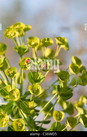 Close-up image of a blossom Euphorbia characias with lady beetles. - Stock Image