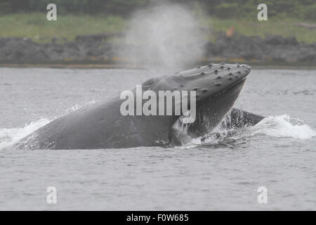 Humpback Whale lunge feeding in Frederick Sound, Petersburg, Alaska - Stock Image