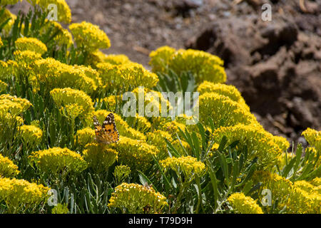 Painted lady butterfly (Vanessa cardui) collecting nectar from wild yellow flowers, La Palma, Canary Islands, Spain - Stock Image