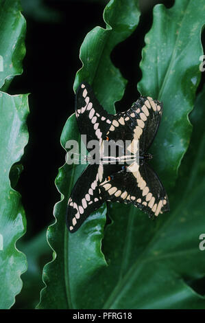 Pair of butterflies mating. Species unknown - Stock Image