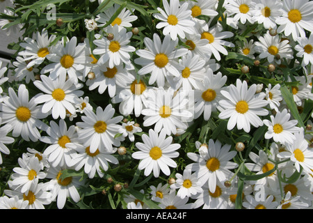 White chrysanthemums with many white and yellow flowers - Stock Image