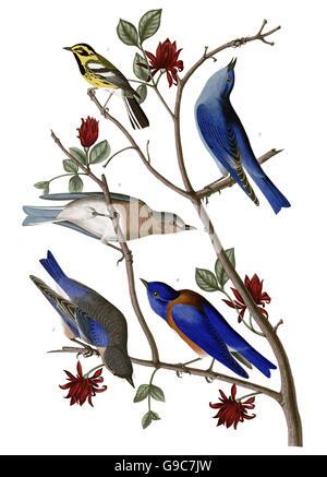 1 Mountain Bluebird, Sialia currucoides, 2 Western bluebird, Sialia mexicana, 3 Townsend s Warbler, Dendroica townsendi, - Stock Image