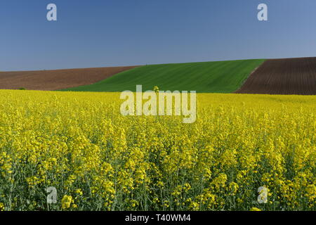 Agricultural land. Treated fields in the plane. In the foreground - blooming rape. - Stock Image