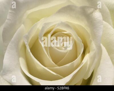 A white rose. - Stock Image