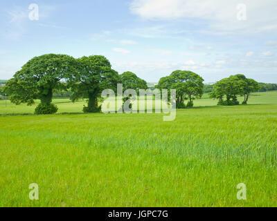 Line of Trees in Green Field Near Penshaw Monument Washington Tyne & Wear UK - Stock Image