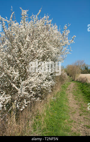 Blackthorn (Prunus spinosa) in blossom during the spring. Hampshire countryside hedgerow, UK - Stock Image