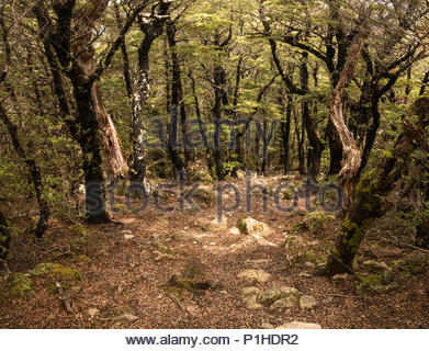 Trees covered with black moss, mt Thomas, Canterbury, new Zealand - Stock Image