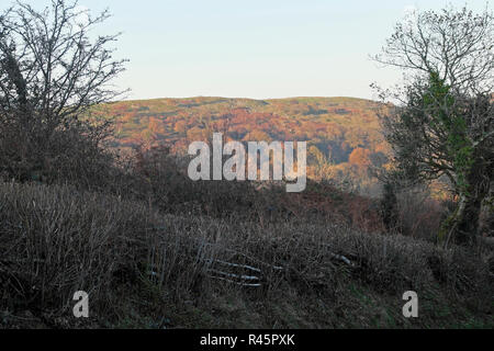 View of colourful autumn hillside and pleached trimmed hedge along a rural country road in November Carmarthenshire West Wales UK  KATHY DEWITT - Stock Image
