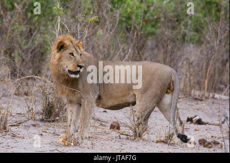 Portrait of a male lion (Panthera leo), Savuti, Chobe National Park, Botswana, Africa - Stock Image