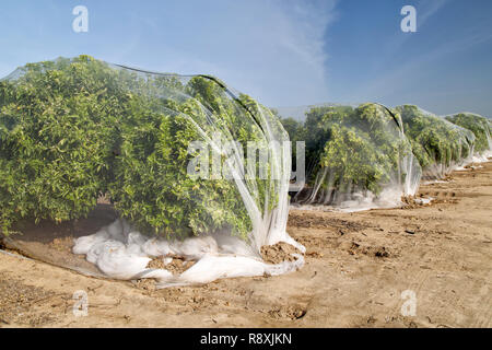 Netting protecting 'Clementine' mandarin orchard from cross-pollination of fruit, Polyethylene fine mesh netting. - Stock Image