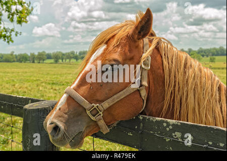 Thoroughbred Horse Portrait from a Kentucky horse farm - Stock Image