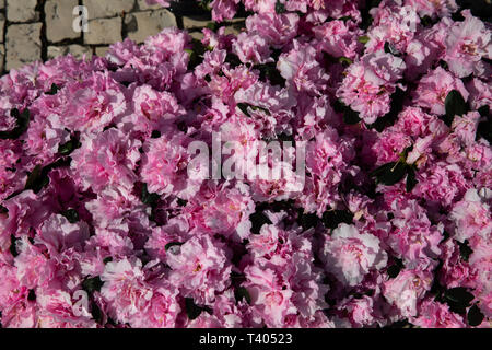 Huge pink flowers in The Azores - Stock Image
