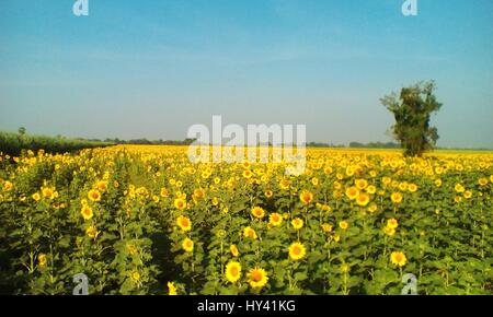 Scenic View Of Oilseed Rape Field Against Clear Sky - Stock Image